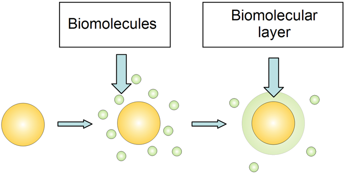 The adsorption of biomolecules onto gold nanoparticles and the formation of biomolecular layer.